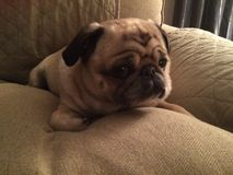 Adorable pug dog on a couch. Adorable cute pug dog Stock Photo
