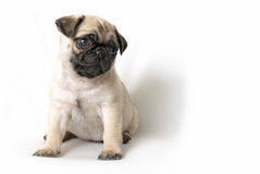 Adorable Pug Puppy Royalty Free Stock Image