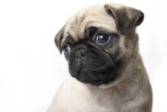 Adorable Pug Puppy Stock Photo