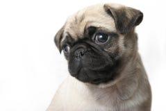 Adorable Pug Puppy Stock Photo