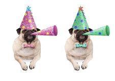 Adorable pug puppy dog hanging with paws on blank banner, wearing colorful birthday party hat and blowing horn. Isolated on white background stock photography