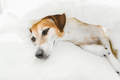 Adorable pup resting on the bed under white blanket. Royalty Free Stock Photography