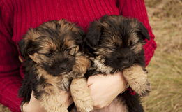 Adorable puppies Stock Image