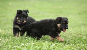 Adorable puppies of Bohemian Shepherd Royalty Free Stock Image