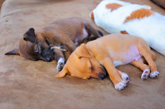 Adorable Puppies Sleeping Royalty Free Stock Photo