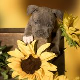 Adorable puppy. Puppy with sunflowers royalty free stock photography