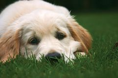 Adorable puppy. This lovely puppy looks so nice with its big black eyes royalty free stock images