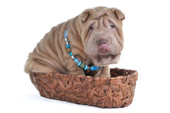 Adorable puppy in Basket Stock Images