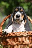 Adorable puppy of basset hound in basket Royalty Free Stock Image