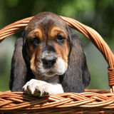 Adorable puppy of basset hound in basket looking at you Stock Photography