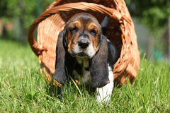 Adorable puppy of basset hound in basket looking at you Stock Photos