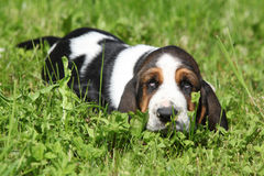 Adorable puppy of basset hound looking at you Royalty Free Stock Image