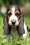 Adorable puppy of basset hound looking at you Royalty Free Stock Photography