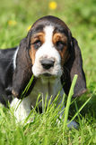 Adorable puppy of basset hound looking at you Stock Photo