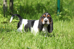 Adorable puppy of basset hound looking at you Stock Photography