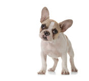Adorable Puppy With Big Ears Standing Up Stock Photo