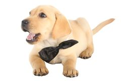 Adorable Puppy with Bow Tie Royalty Free Stock Photos