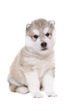 Adorable puppy breed Husky Stock Image