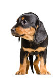 Adorable puppy breed Slovakian Hound Stock Photography