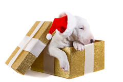 Adorable puppy in Christmas present box. Isolated over white Royalty Free Stock Photos