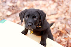 Adorable Puppy Climbing Royalty Free Stock Photography