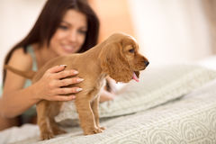 Adorable puppy Cocker Spaniel stands on the bed Stock Photos