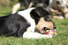 Adorable puppy of Collie Smooth in the garden Stock Photography