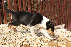 Adorable puppy of Collie Smooth in the garden Stock Photo