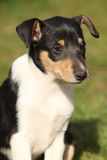 Adorable puppy of Collie Smooth in the garden Stock Image