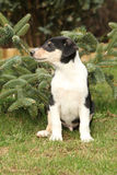 Adorable puppy of Collie Smooth in the garden Royalty Free Stock Photography
