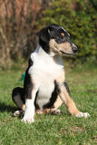 Adorable puppy of Collie Smooth in the garden Stock Images