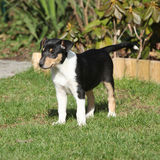Adorable puppy of Collie Smooth in the garden Stock Photos