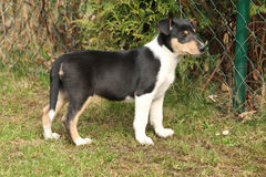 Adorable puppy of Collie Smooth in the garden Royalty Free Stock Photo