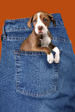 Adorable Puppy in Denim Royalty Free Stock Photos