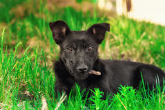 Adorable puppy dog on grass looks directly at the camera.  Royalty Free Stock Images