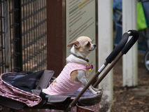 Adorable Puppy Dressed up for a Day Out. Adorable Puppy in a pink coat in a pink pram, dressed up for a day out in Yoyogi Park, Tokyo, Japan Royalty Free Stock Photography