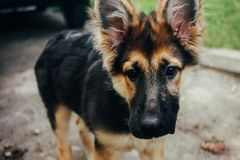 Adorable puppy german shepherd sitting on green grass and lookin Stock Image