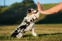 Adorable puppy gives paw to owner. Miniature australian shepherd puppy outdoors Royalty Free Stock Images
