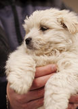 Adorable puppy held by a man Royalty Free Stock Photography
