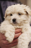 Adorable puppy held by a man Royalty Free Stock Photo