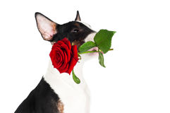 Adorable puppy holding a red rose Stock Image