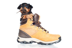 Adorable puppy inside a boot royalty free stock image