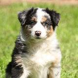 Adorable puppy looking at you. Adorable puppy of australian shepherd looking at you Royalty Free Stock Images