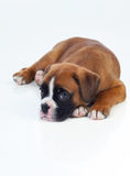 Adorable puppy lying on the floor Royalty Free Stock Photography