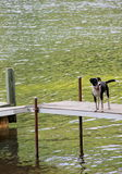 Adorable puppy out on the dock, wet and happy from swimming. Adorable border collie with wagging tail,standing on the dock, wet and happy from taking a swim in Stock Photo