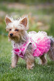 Adorable puppy in pink Royalty Free Stock Photo