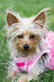 Adorable puppy in pink Royalty Free Stock Images