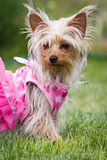 Adorable puppy in pink Stock Photo