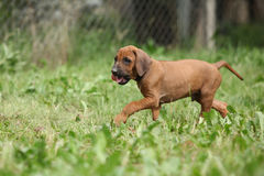 Adorable puppy of rhodesian ridgeback in the garden Royalty Free Stock Photo