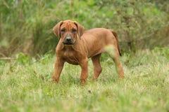 Adorable puppy of rhodesian ridgeback in the garden Stock Images